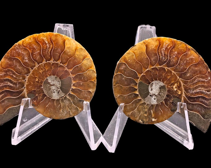 Cobble Creek: 55 mm Polished Ammonite Pair from Madagascar