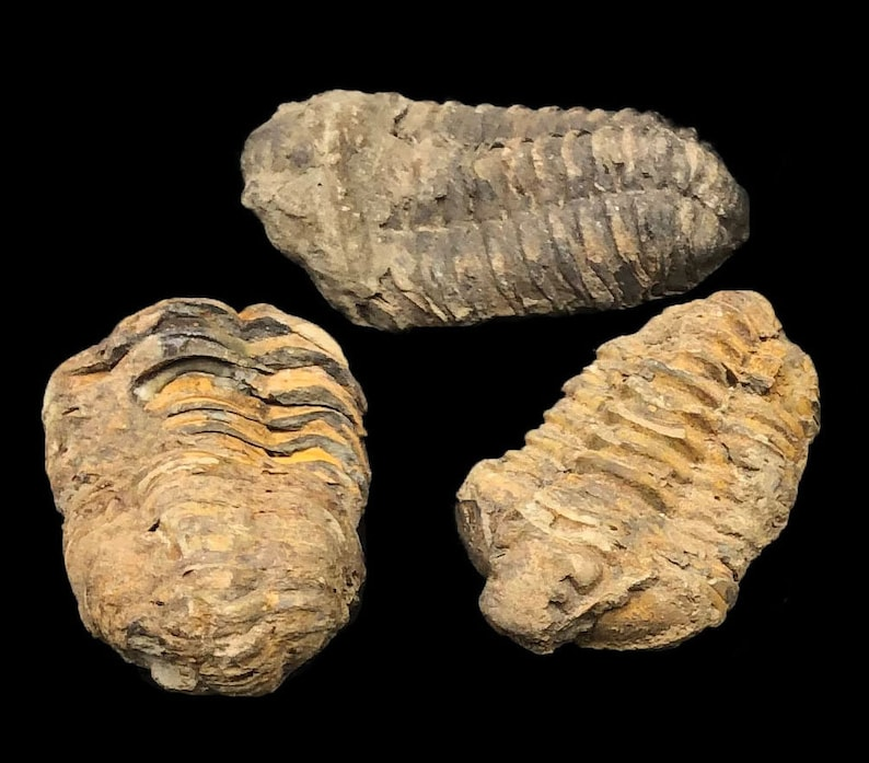 5 Small Trilobite Fossils  Trilobites from Morocco North image 0