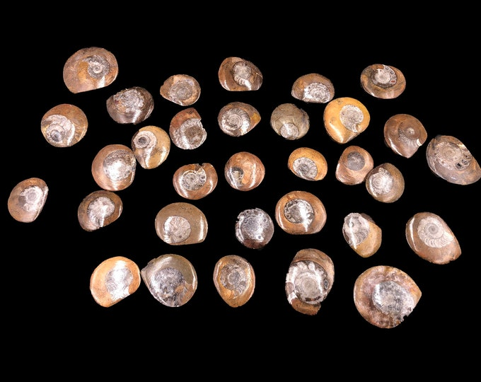25 Polished  Ammonite Button from Morocco