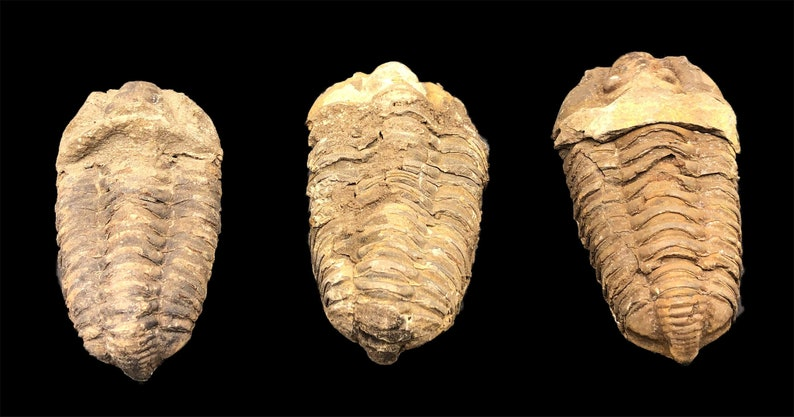 3 Large Trilobite Fossils  Trilobites from Morocco North image 0