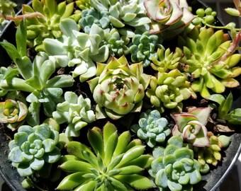 Succulent arrangement (large)