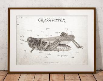 Grasshopper Scientific Illustration Wall Art