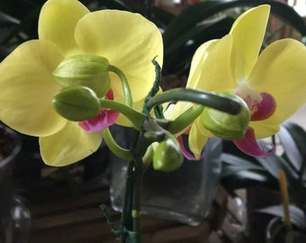 the Phalaenopsis Orchid Miraflore