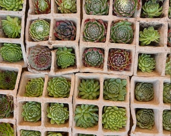 200 LARGE Sempervivum Succulent 5cm Babies Free Postage in the UK. Picked on  day of order. Wedding Favour Baby shower. Fairy Garden