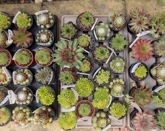 Pack of 60 Colourful Sempervivum Succulent Rooted Garden Plants. 5cm in size. Wedding Favour. Baby Shower. Gift for Her. Not In Pots.