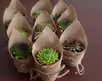 10 Sempervivum Succulent plants in a 6cm biodegradable pot. DRESSED. Perfect for Wedding Favour, Baby Shower, gift for Mother's Day.