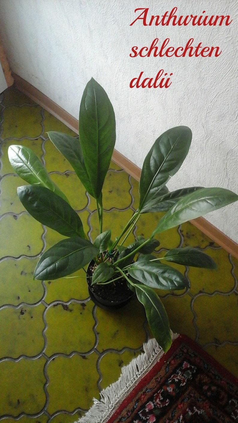 Anthurium Cura Della Pianta pianta tropicale pianta anthurium schlechtendalii 3 anni