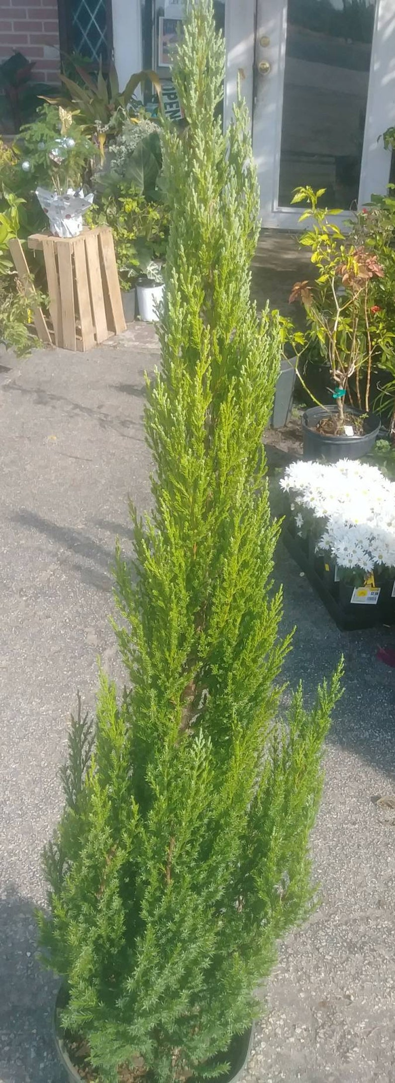 Blue Point Juniper Prymidal Evergreen 1 live tree well rooted, 3 + foot  tall, in 3 gallon pot