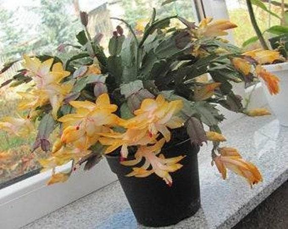 Christmas Cactus Starter Plant ~~Gold Fever~~ Schlumbergera//Zygo Cactus