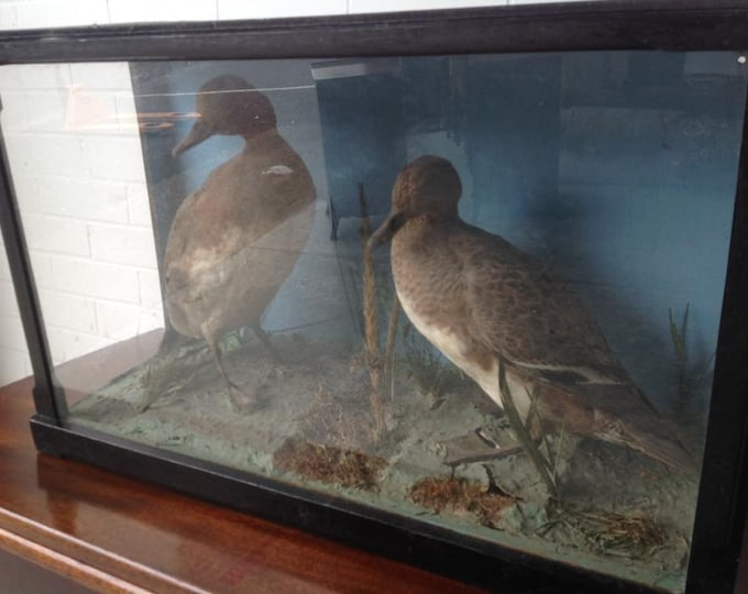 Taxidermy Pair of Victorian Ducks Cased