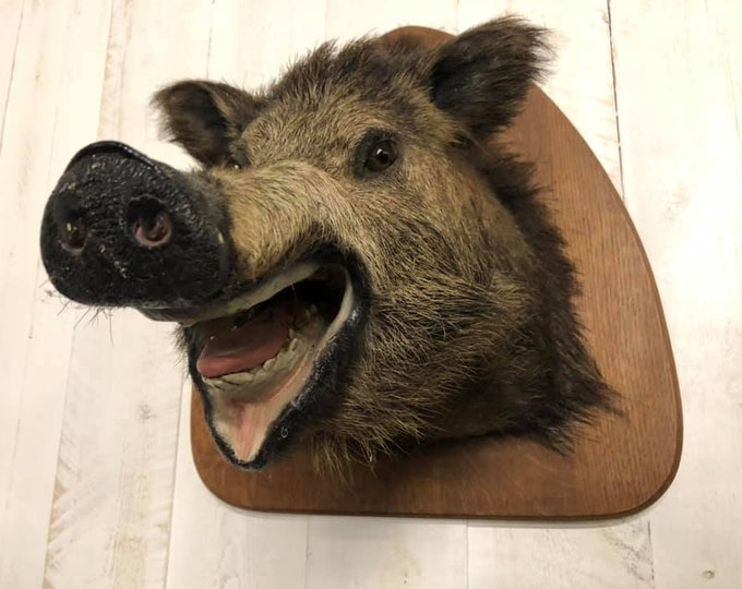 Taxidermy Mounted Female Boars Head