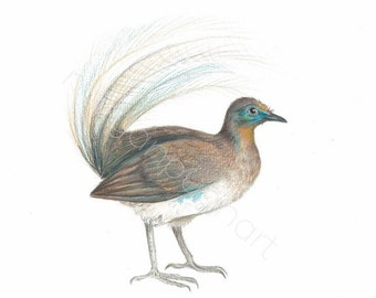 Albert's Lyrebird Illustration Print