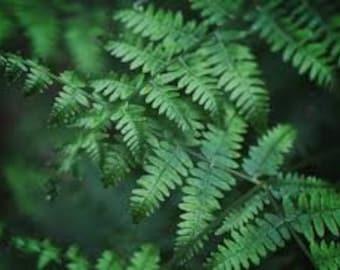 5 Christmas Ferns (Polystichum Arostichoids) Mature Hardy Bare Root Plants