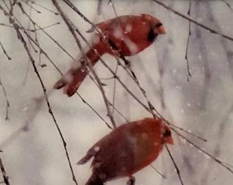 Snow Cardinals #2