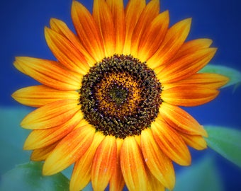 Sunflower with Blue
