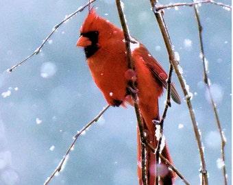 Snow Cardinal #1