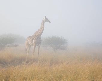 Giraffe in Misty Morning