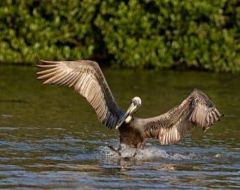 Brown Pelican Smooth Landing