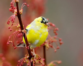 Yellow Finch in the spring
