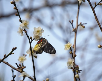 Freedom - Digital Download Photography - Butterfly, White Plum Blossoms, Branches, Macro, Wall Art, Bedroom, Desktop Background, Printable