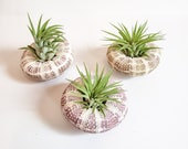 Alfonso with Airplant Jellyfish Christmas Ornament Hanging Gift Ornament Upside Down Tillandsia 25 profit goes to charity
