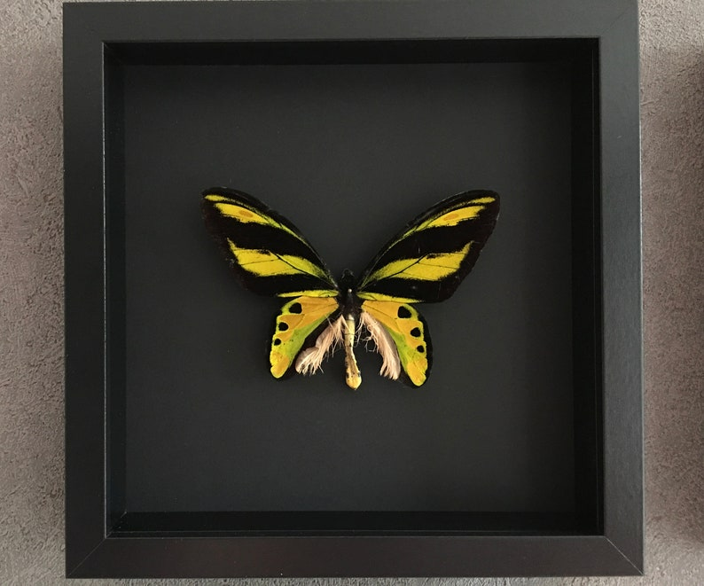 Rare butterfly collector exotic Ornithoptera Tithonus Misresiana naturalized under black lacquered wood-Entomology-Butterfly-Lepidoptera