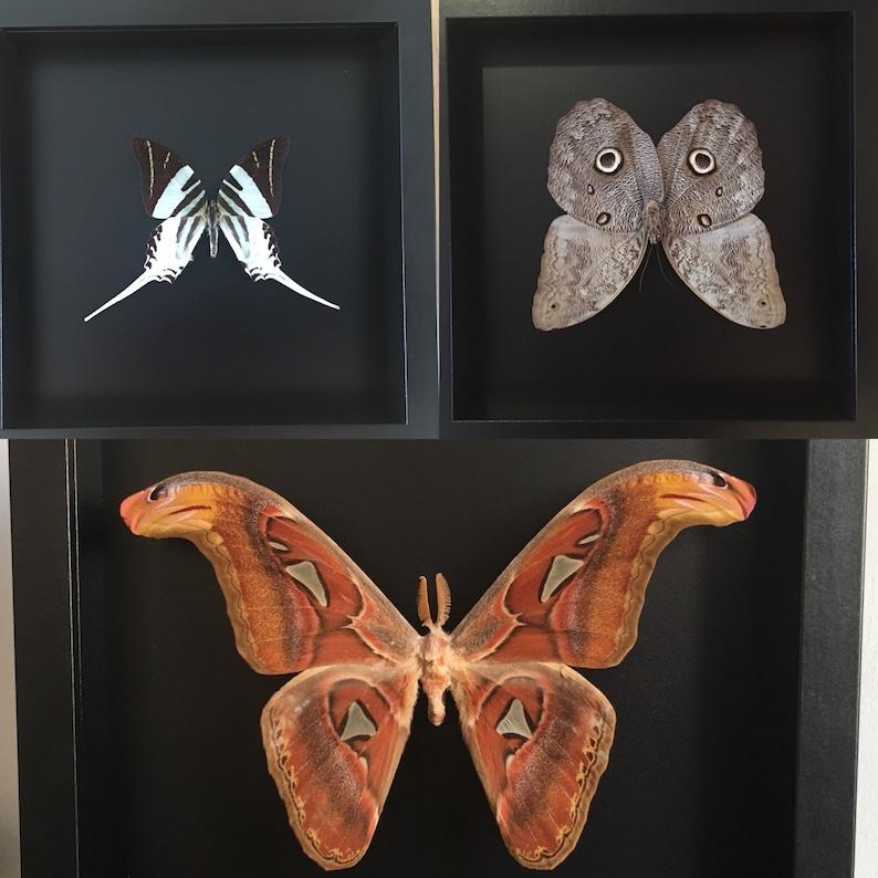 All 3 frames 25x25cm butterflies exotic genuine Caligo Eurylochus Graphium Androcles Entomology Attacus Atlas Butterflies