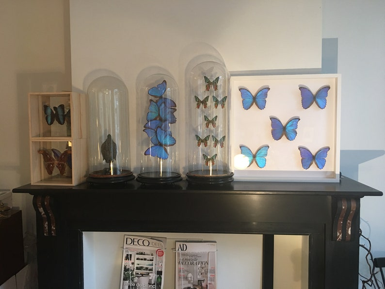Troides Brookiana naturalized in large white lacquered wooden frame Beautiful composition of 5 Butterfly Morpho Didius the Giants Blue