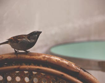 French Sparrow