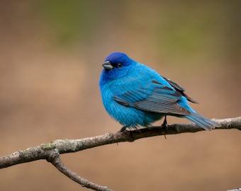 Male Indigo Bunting II, DIGITAL PRINT, Backyard Birds, Pure Michigan