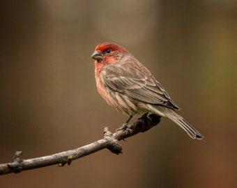 Male House Finch II, DIGITAL PRINT, Backyard Birds, Pure Michigan