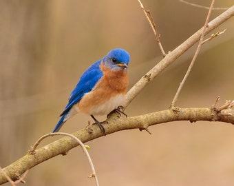 Eastern Bluebird III, DIGITAL PRINT, Backyard Birds, Pure Michigan