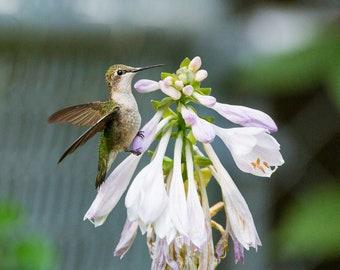 Ruby-Throated Hummingbird, DIGITAL PRINT, Backyard Birds, Pure Michigan