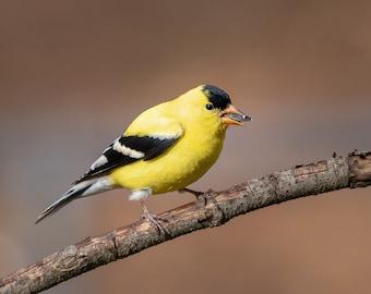 American Goldfinch, DIGITAL PRINT, Backyard Birds, Pure Michigan