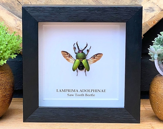 Framed Lamprima Adolphinae (Saw tooth beetle), Taxidermy,art,birthday gift,Gift for friend, entomology