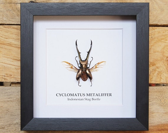 Cyclomatus Metaliffer insect Frame, Butterfly Box Frame taxidermy entomology nature, beauty insect taxidermy photography
