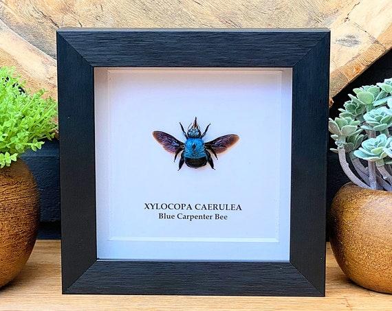 Framed Blue Carpenter bee (Xylocopa Caerulea) , Taxidermy,art,birthday gift,Gift for friend, entomology