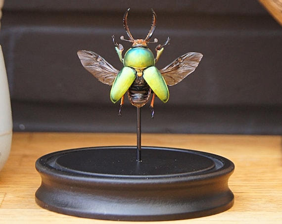 Lamprima Adolphinae bell jar, Butterfly Butterfly Box Frame taxidermy entomology nature, beauty insect taxidermy photography