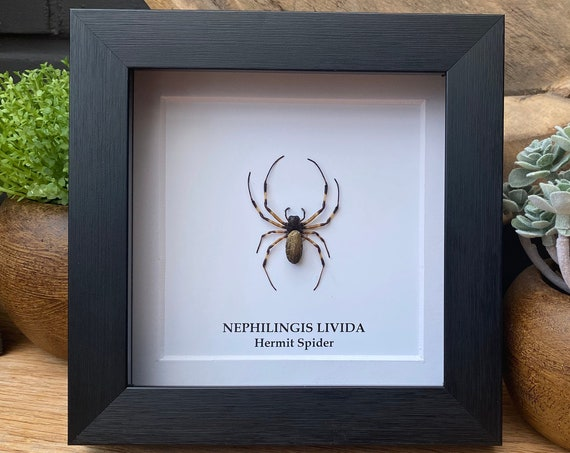 Framed Nephilingis Livida (Hermit Spider), Taxidermy and Entomology homedecoration wall art