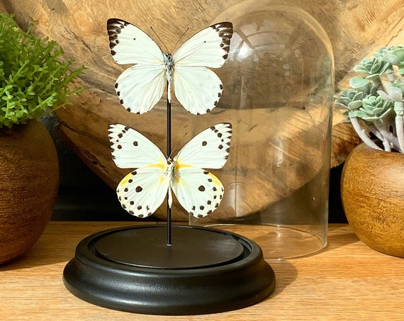 Belenois Calypso Recto-Verso butterfly in bell jar, Butterfly Box Frame taxidermy entomology nature, beauty insect taxidermy photography