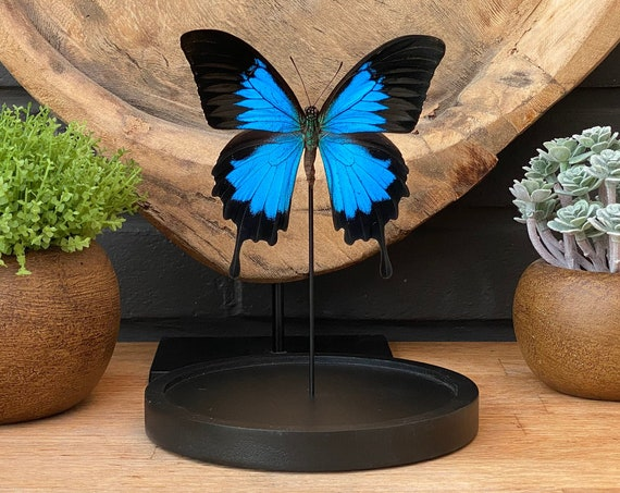 PAPILIO ULYSSES in bell jar ,Butterfly Butterfly Box Frame taxidermy entomology nature, beauty insect taxidermy photography