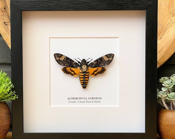 Framed Acherontia Atropos, Butterfly Box Frame taxidermy entomology nature, beauty insect taxidermy photography