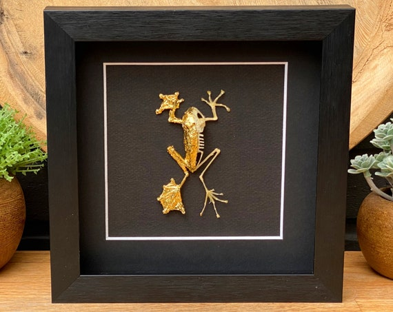 Golden Frog skeleton ,Butterfly Box Frame taxidermy entomology nature, beauty insect taxidermy photography