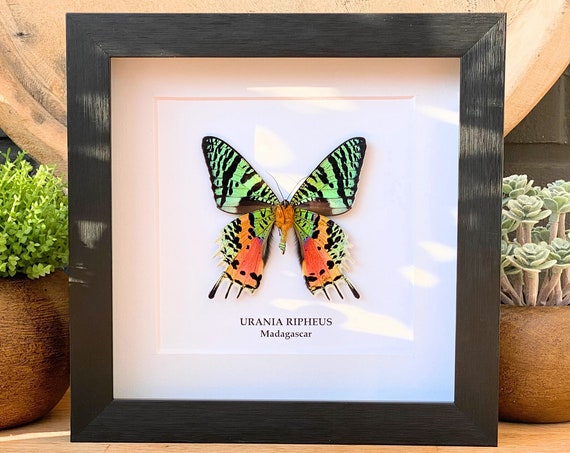 Underside mount Urania Ripheus , insect Butterfly Box Frame taxidermy entomology nature, beauty insect taxidermy photography