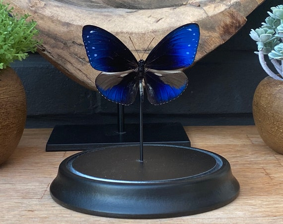 Euploea Mulciber butterfly in bell jar, Butterfly Box Frame taxidermy entomology nature, beauty insect taxidermy photography