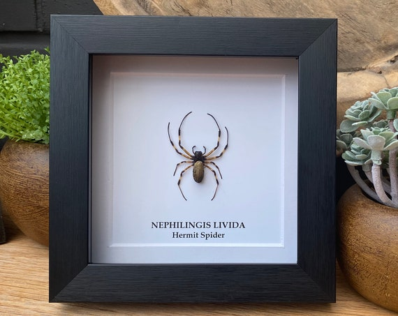 Nephilingis Livida (Hermit Spider), Framed Butterfly Box Frame taxidermy entomology nature, beauty insect taxidermy photography
