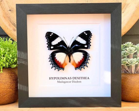 Hypolimnas Dexithea butterfly in frame (Madagascar Diadem) Taxidermy,art,birthday gift,Gift for friend, entomology