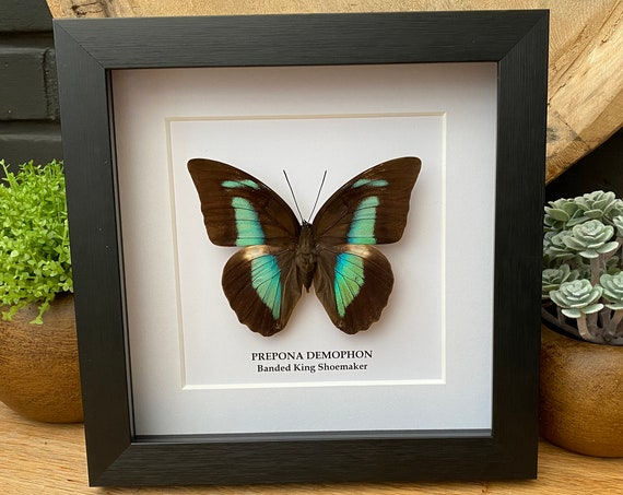 Prepona Demophon Framed (Banded King Shoemaker) Butterfly Box Frame taxidermy entomology nature, beauty insect taxidermy photography