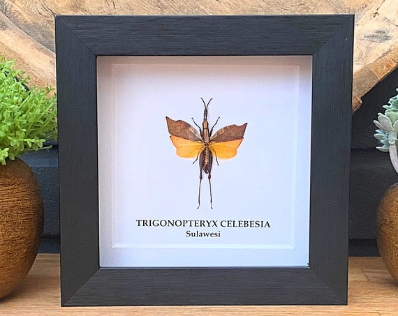 Trigonopteryx Celebesia framed , insect Butterfly Box Frame taxidermy entomology nature, beauty insect taxidermy photography