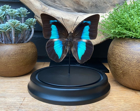 Prepona Demophon butterfly in bell jar, Butterfly Box Frame taxidermy entomology nature, beauty insect taxidermy photography